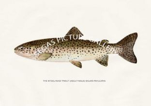 Steelhead Trout (Adult Male) Salmo-Rivularis